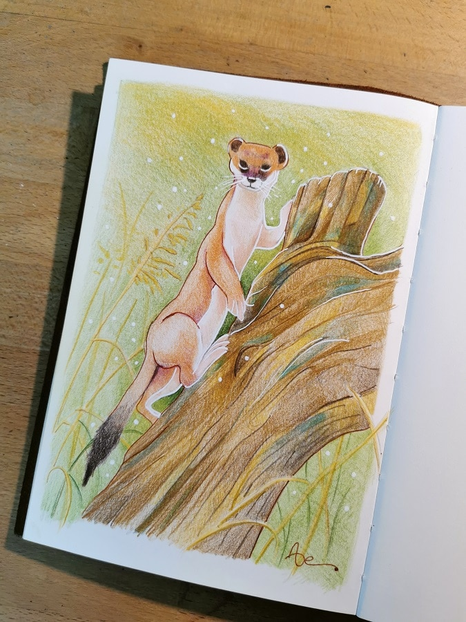 Belette sur une souche d'arbre - carnet à dessin